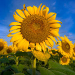 Wisconsin Stock Photographer • Sunflower Fields
