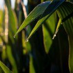 The sun glistens off dew in a field of corn.