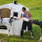 Ryan Schlies bottle feeds calves as part of his morning chores,